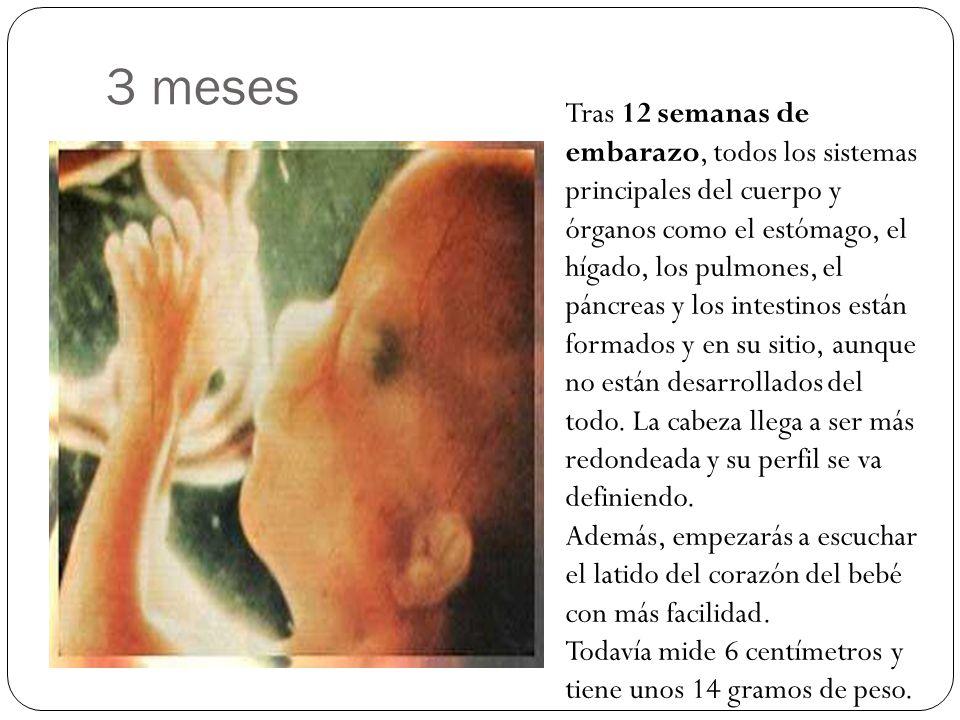 3 meses Tras 12 semanas de embarazo, todos los sistemas principales del cuerpo y órganos como el estómago, el hígado, los pulmones, el páncreas y los