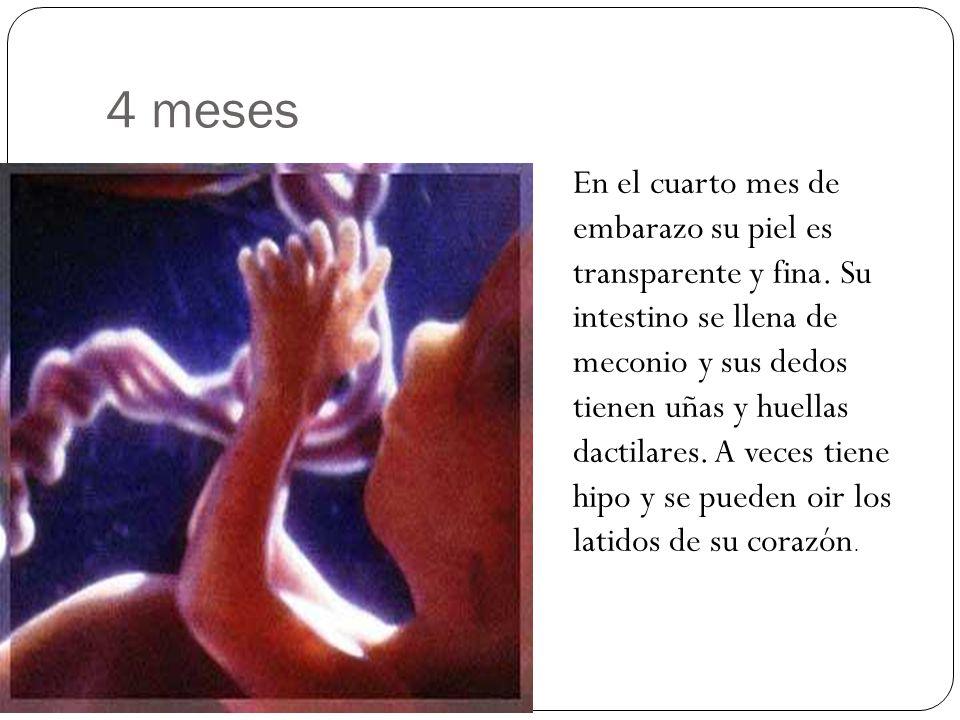4 meses En el cuarto mes de embarazo su piel es transparente y fina. Su intestino se llena de meconio y sus dedos tienen uñas y huellas dactilares. A