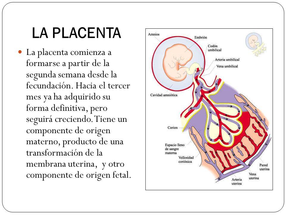 LA PLACENTA La placenta comienza a formarse a partir de la segunda semana desde la fecundación. Hacia el tercer mes ya ha adquirido su forma definitiv