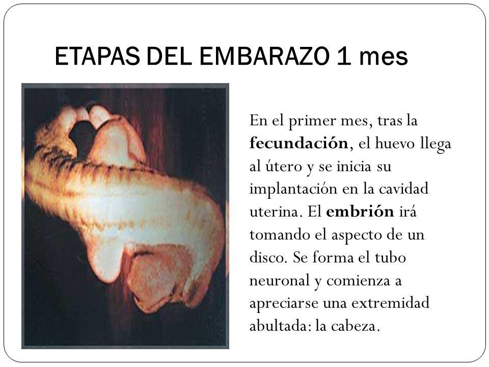 ETAPAS DEL EMBARAZO 1 mes En el primer mes, tras la fecundación, el huevo llega al útero y se inicia su implantación en la cavidad uterina. El embrión