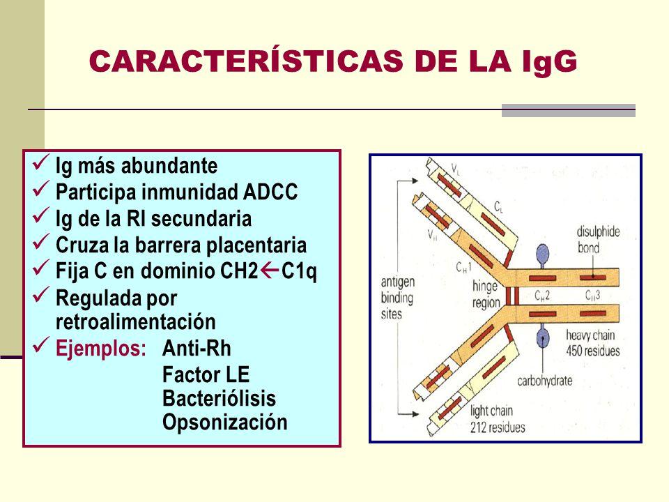 CARACTERÍSTICAS DE LA IgG Ig más abundante Participa inmunidad ADCC Ig de la RI secundaria Cruza la barrera placentaria Fija C en dominio CH2 C1q Regu