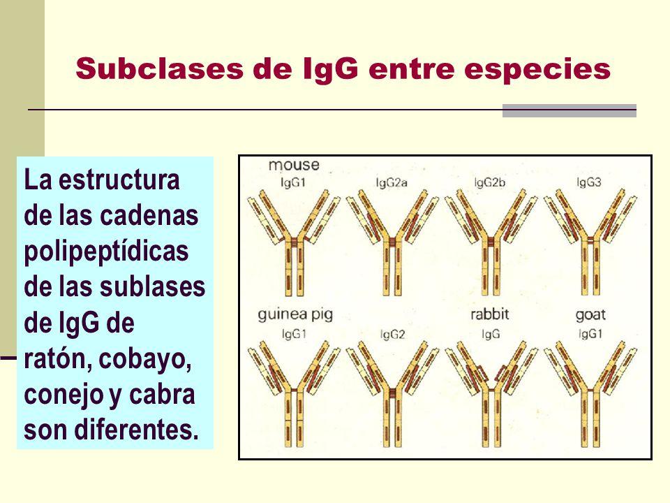 Subclases de IgG entre especies La estructura de las cadenas polipeptídicas de las sublases de IgG de ratón, cobayo, conejo y cabra son diferentes.