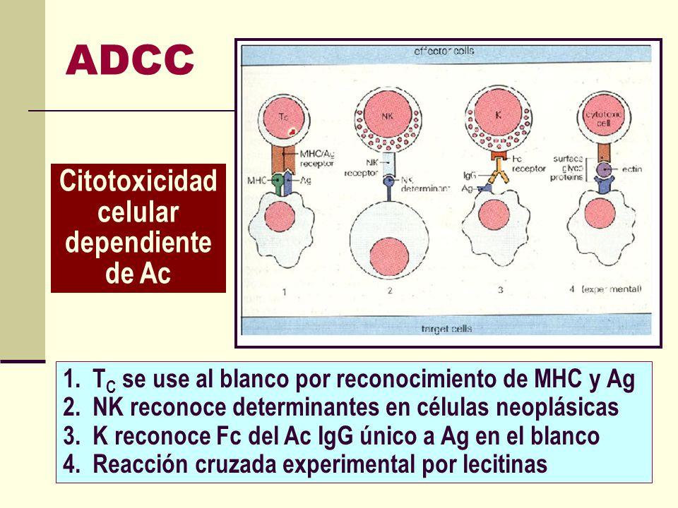 ADCC 1. T C se use al blanco por reconocimiento de MHC y Ag 2. NK reconoce determinantes en células neoplásicas 3. K reconoce Fc del Ac IgG único a Ag