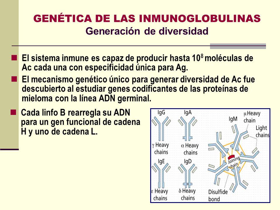 GENÉTICA DE LAS INMUNOGLOBULINAS Generación de diversidad Cada linfo B rearregla su ADN para un gen funcional de cadena H y uno de cadena L. El sistem