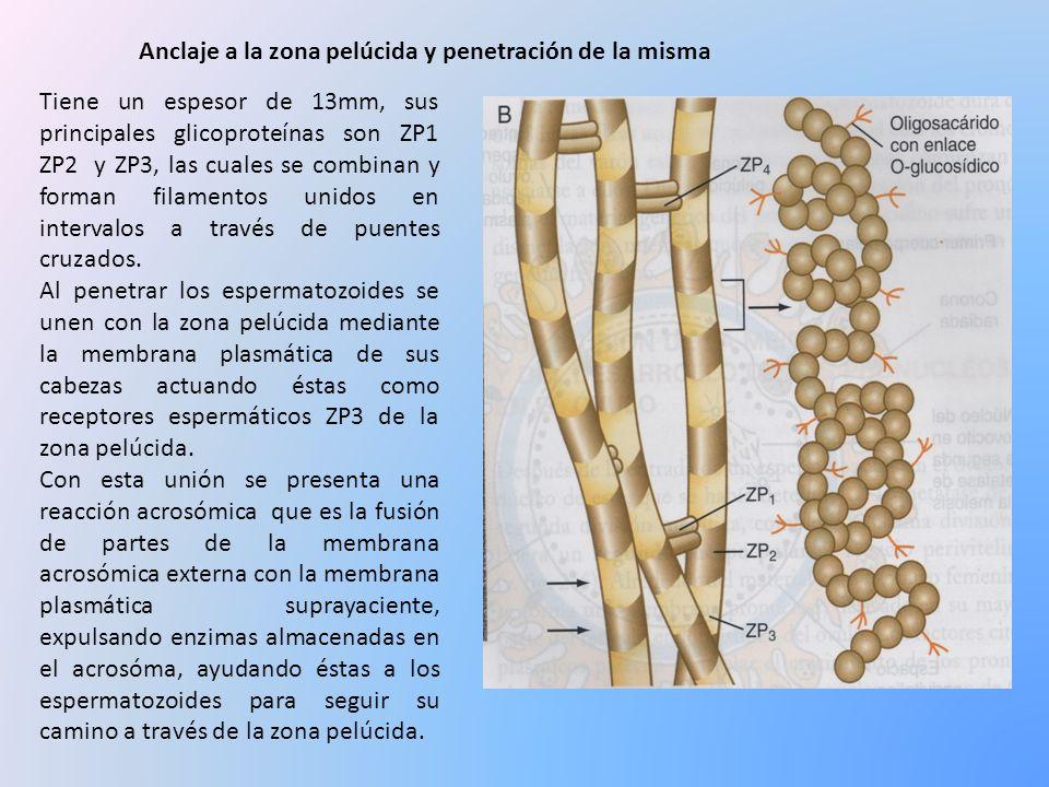 Tiene un espesor de 13mm, sus principales glicoproteínas son ZP1 ZP2 y ZP3, las cuales se combinan y forman filamentos unidos en intervalos a través d