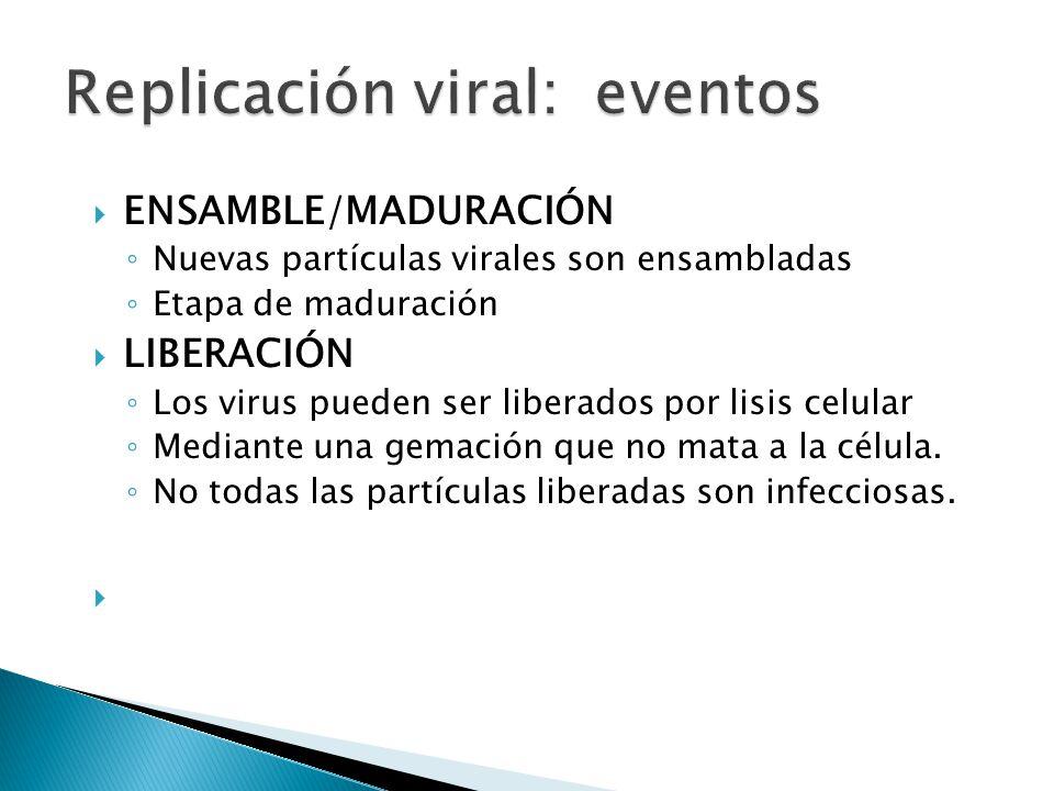 ENSAMBLE/MADURACIÓN Nuevas partículas virales son ensambladas Etapa de maduración LIBERACIÓN Los virus pueden ser liberados por lisis celular Mediante