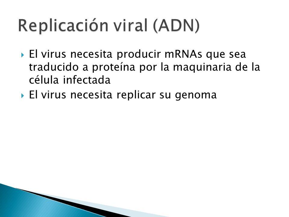 El virus necesita producir mRNAs que sea traducido a proteína por la maquinaria de la célula infectada El virus necesita replicar su genoma