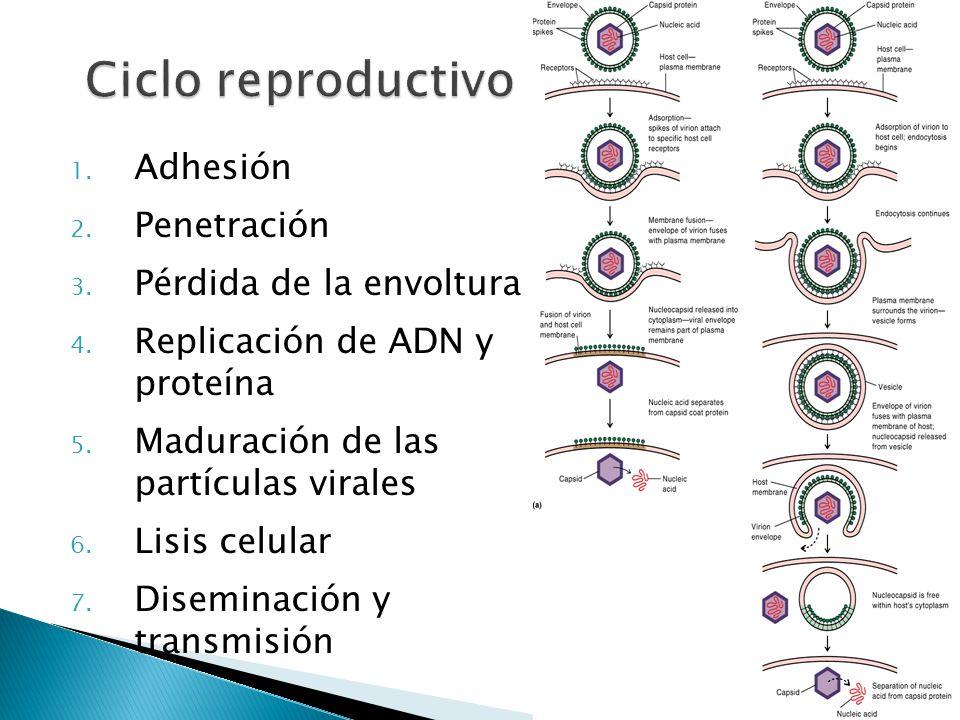 1. Adhesión 2. Penetración 3. Pérdida de la envoltura 4. Replicación de ADN y proteína 5. Maduración de las partículas virales 6. Lisis celular 7. Dis