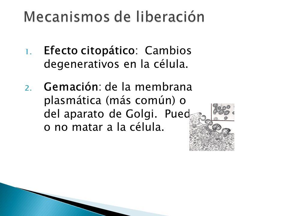 1. Efecto citopático: Cambios degenerativos en la célula. 2. Gemación: de la membrana plasmática (más común) o del aparato de Golgi. Puede o no matar