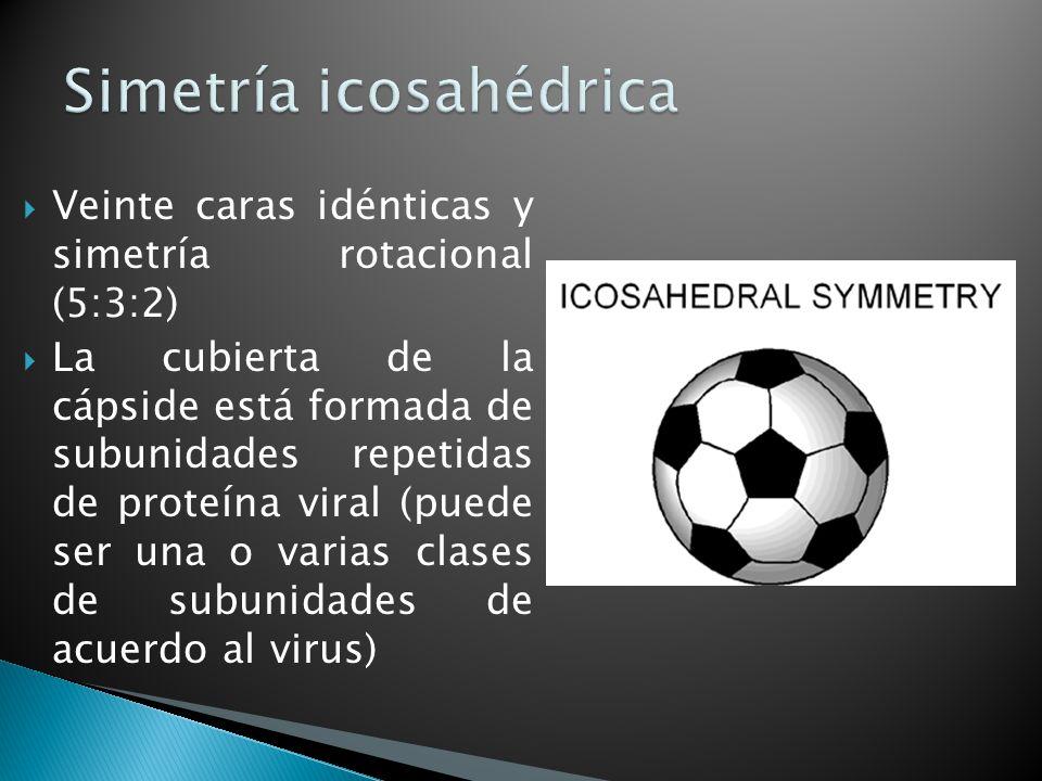 Veinte caras idénticas y simetría rotacional (5:3:2) La cubierta de la cápside está formada de subunidades repetidas de proteína viral (puede ser una
