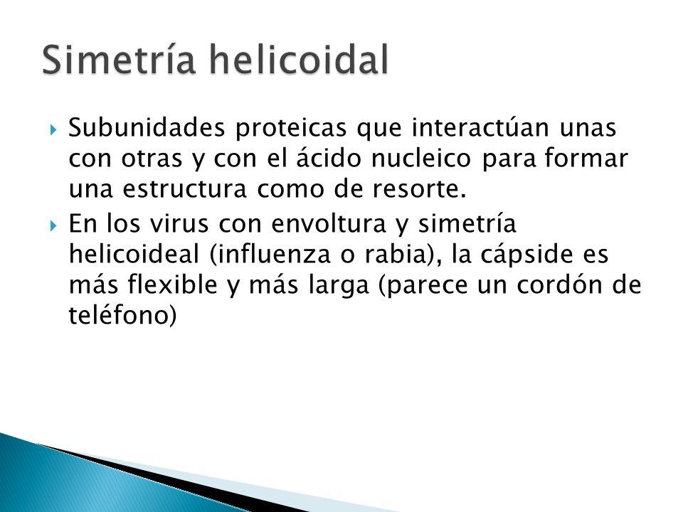 Subunidades proteicas que interactúan unas con otras y con el ácido nucleico para formar una estructura como de resorte. En los virus con envoltura y