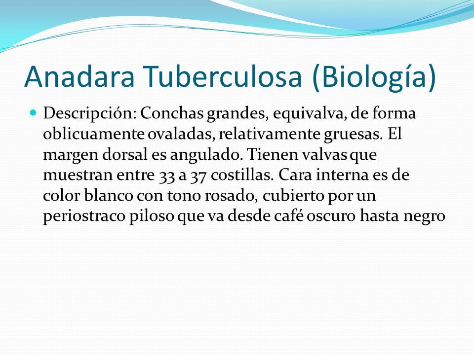 Anadara Tuberculosa (Biología) Descripción: Conchas grandes, equivalva, de forma oblicuamente ovaladas, relativamente gruesas. El margen dorsal es ang