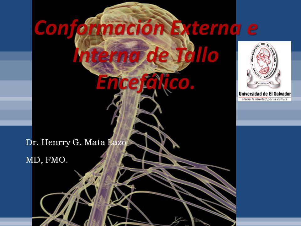 El tallo encefálico está formado por: a.Bulbo raquídeo b.Protuberancia o puente. c.Mesencéfalo.