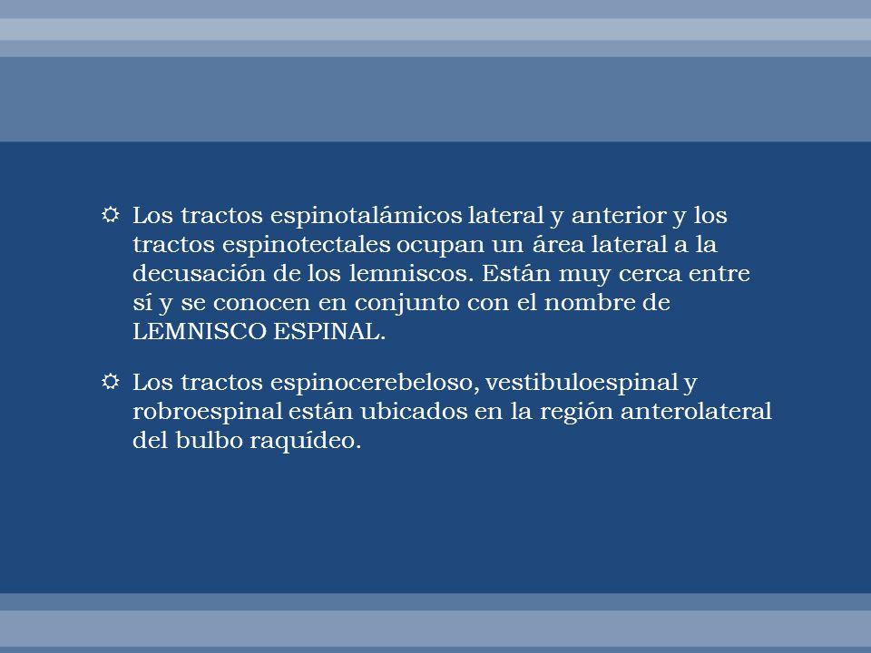 Los tractos espinotalámicos lateral y anterior y los tractos espinotectales ocupan un área lateral a la decusación de los lemniscos. Están muy cerca e