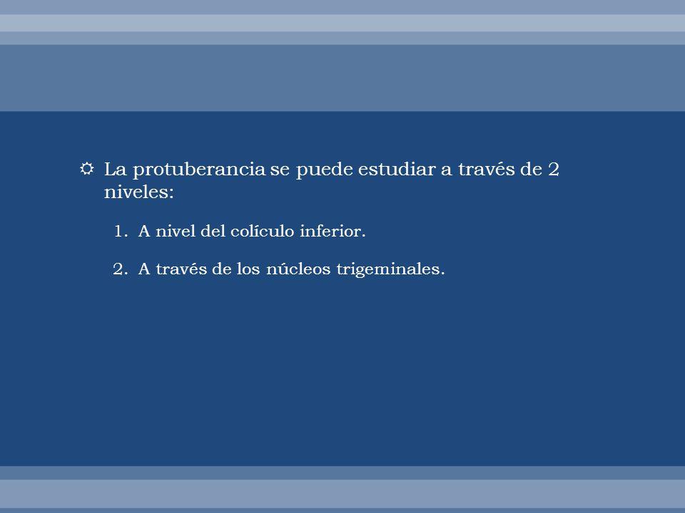 La protuberancia se puede estudiar a través de 2 niveles: 1.A nivel del colículo inferior. 2.A través de los núcleos trigeminales.