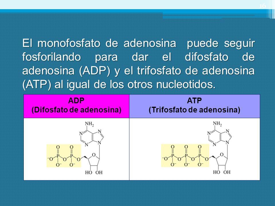 ADP (Difosfato de adenosina) ATP (Trifosfato de adenosina) 16 El monofosfato de adenosina puede seguir fosforilando para dar el difosfato de adenosina