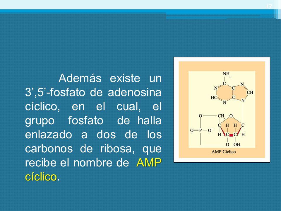 17 AMP cíclico Además existe un 3,5-fosfato de adenosina cíclico, en el cual, el grupo fosfato de halla enlazado a dos de los carbonos de ribosa, que