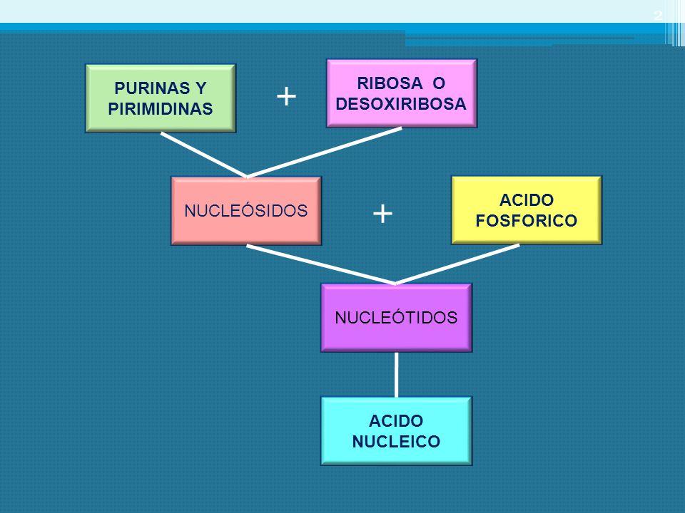 PURINAS Y PIRIMIDINAS RIBOSA O DESOXIRIBOSA + NUCLEÓSIDOS ACIDO FOSFORICO NUCLEÓTIDOS ACIDO NUCLEICO + 2