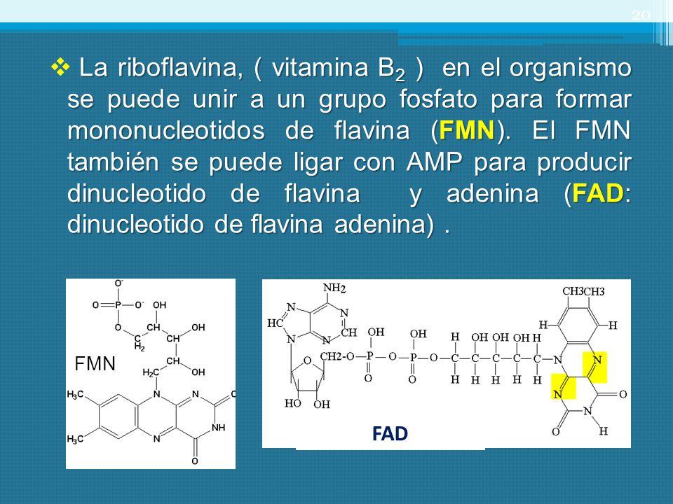 La riboflavina, ( vitamina B 2 ) en el organismo se puede unir a un grupo fosfato para formar mononucleotidos de flavina (FMN). El FMN también se pued
