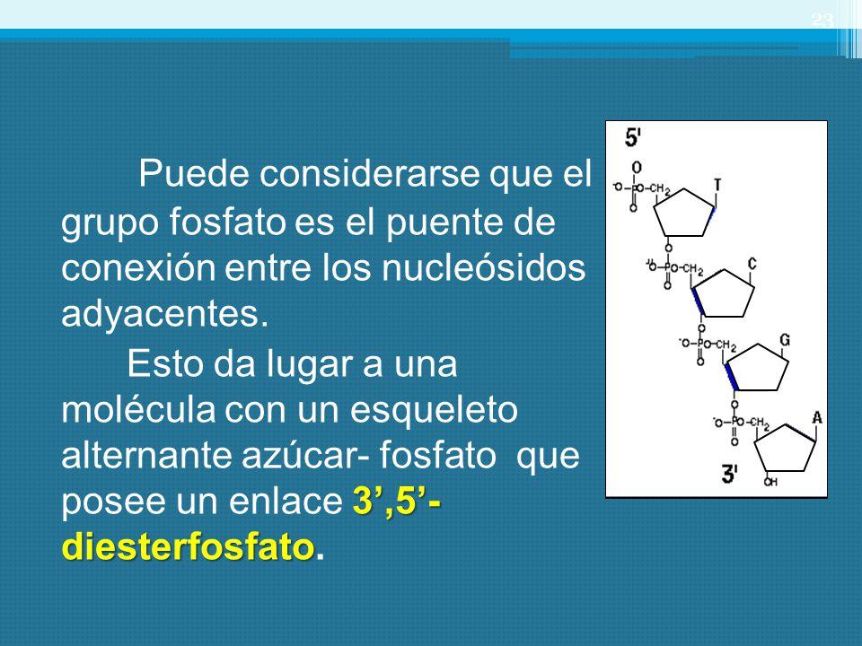 Puede considerarse que el grupo fosfato es el puente de conexión entre los nucleósidos adyacentes. 3,5- diesterfosfato Esto da lugar a una molécula co