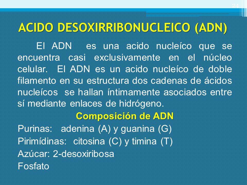 ACIDO DESOXIRRIBONUCLEICO (ADN) El ADN es una acido nucleíco que se encuentra casi exclusivamente en el núcleo celular. El ADN es un acido nucleíco de