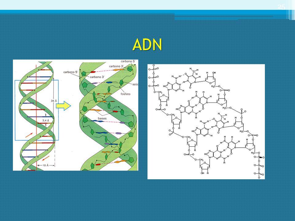 ADN 25