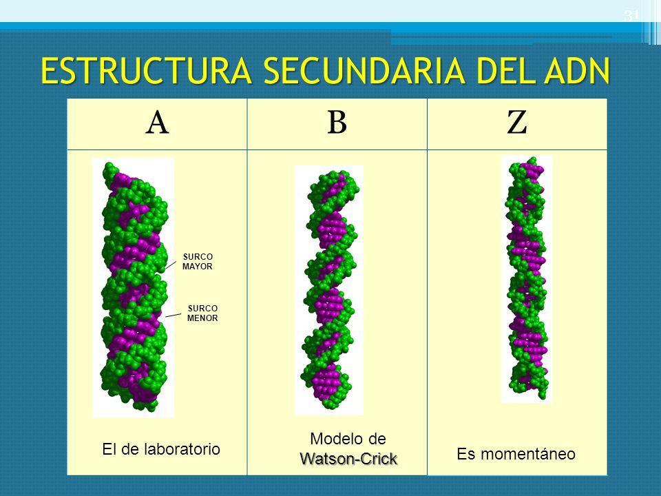 ESTRUCTURA SECUNDARIA DEL ADN 31 ABZ SURCO MENOR SURCO MAYOR El de laboratorio Modelo deWatson-Crick Es momentáneo