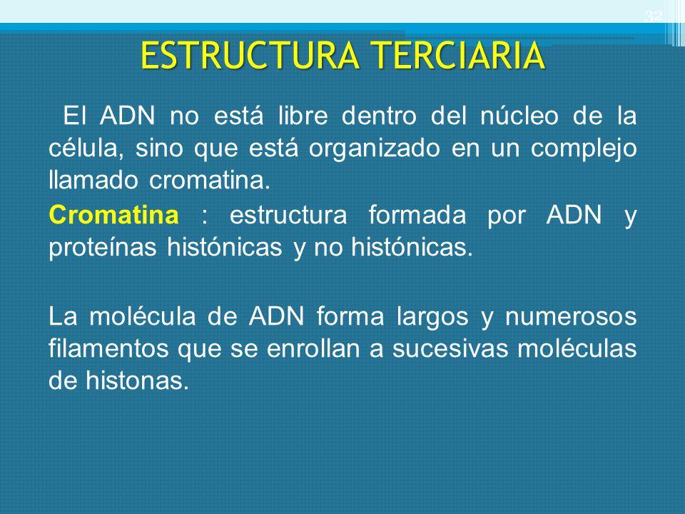 ESTRUCTURA TERCIARIA El ADN no está libre dentro del núcleo de la célula, sino que está organizado en un complejo llamado cromatina. Cromatina : estru