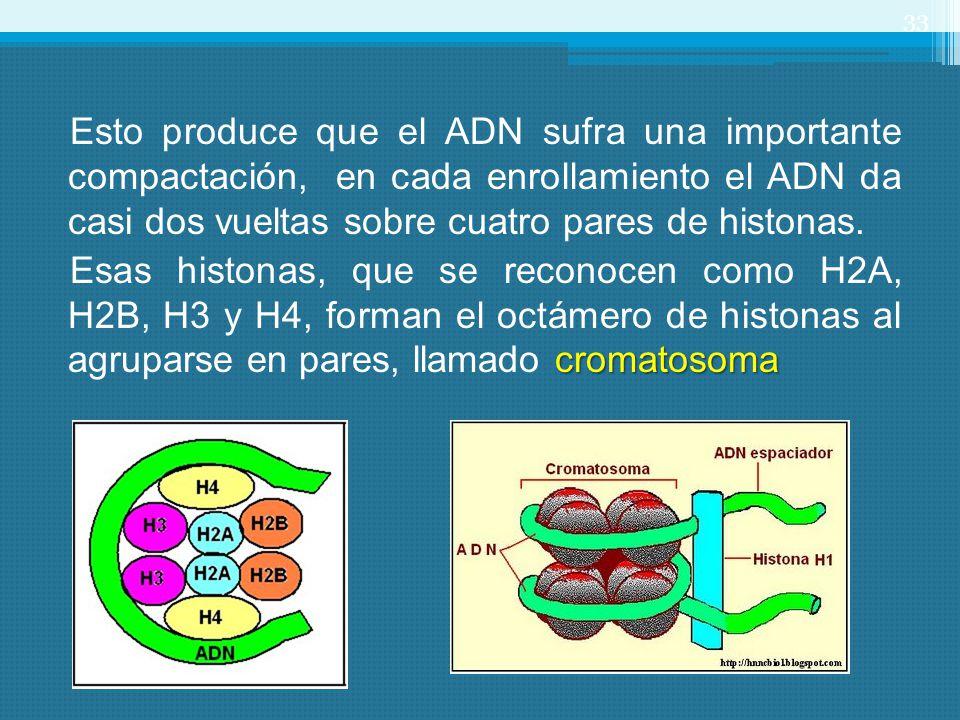 Esto produce que el ADN sufra una importante compactación, en cada enrollamiento el ADN da casi dos vueltas sobre cuatro pares de histonas. cromatosom