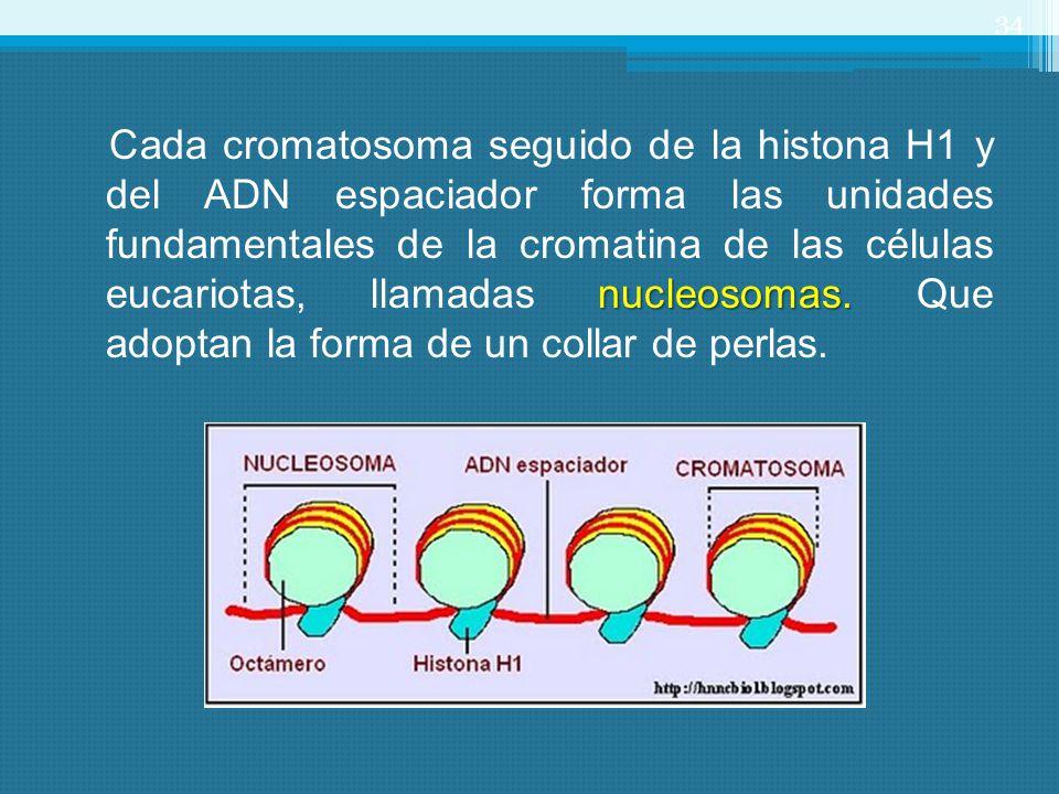 34 nucleosomas. Cada cromatosoma seguido de la histona H1 y del ADN espaciador forma las unidades fundamentales de la cromatina de las células eucario