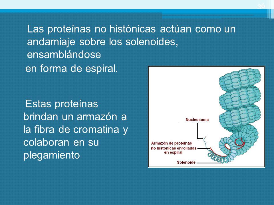 Las proteínas no histónicas actúan como un andamiaje sobre los solenoides, ensamblándose en forma de espiral. 36 Estas proteínas brindan un armazón a