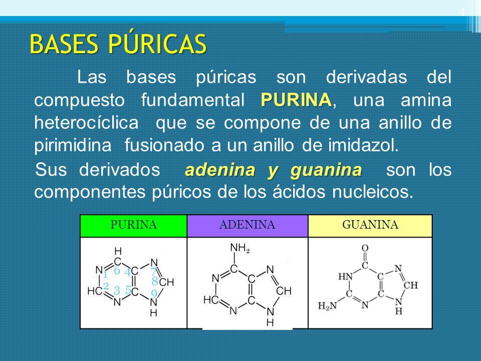 BASES PÚRICAS PURINA Las bases púricas son derivadas del compuesto fundamental PURINA, una amina heterocíclica que se compone de una anillo de pirimid