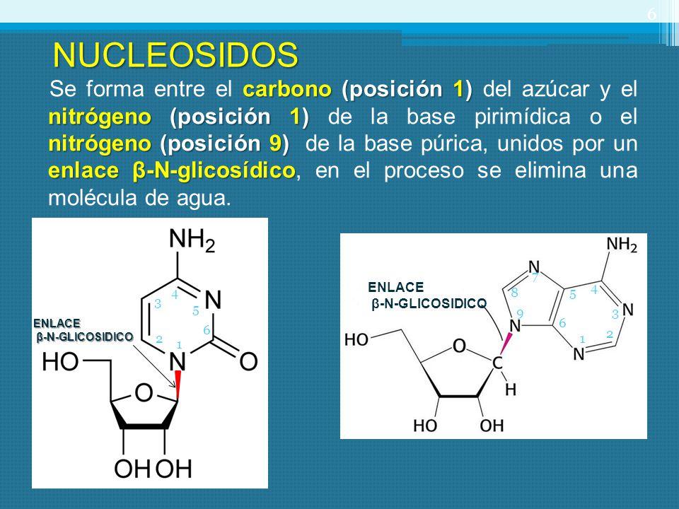 carbono (posición 1) nitrógeno (posición 1) nitrógeno (posición 9) enlace β-N-glicosídico Se forma entre el carbono (posición 1) del azúcar y el nitró