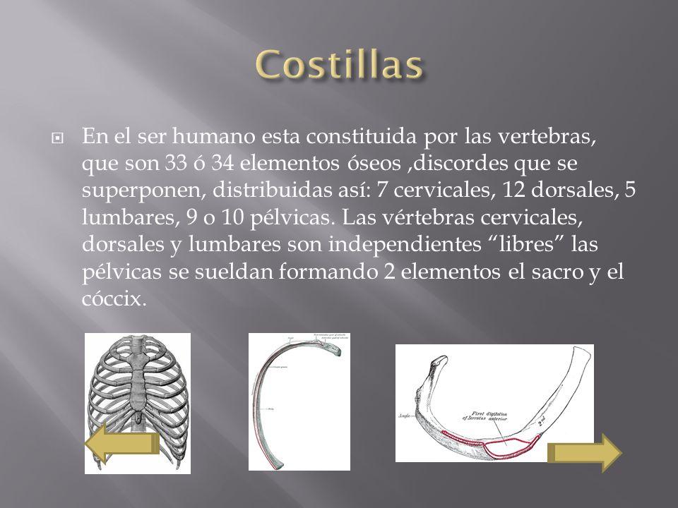 En el ser humano esta constituida por las vertebras, que son 33 ó 34 elementos óseos,discordes que se superponen, distribuidas así: 7 cervicales, 12 dorsales, 5 lumbares, 9 o 10 pélvicas.