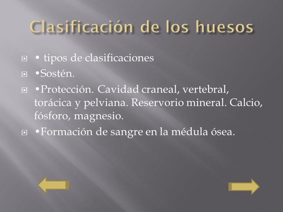 tipos de clasificaciones Sostén. Protección. Cavidad craneal, vertebral, torácica y pelviana. Reservorio mineral. Calcio, fósforo, magnesio. Formación