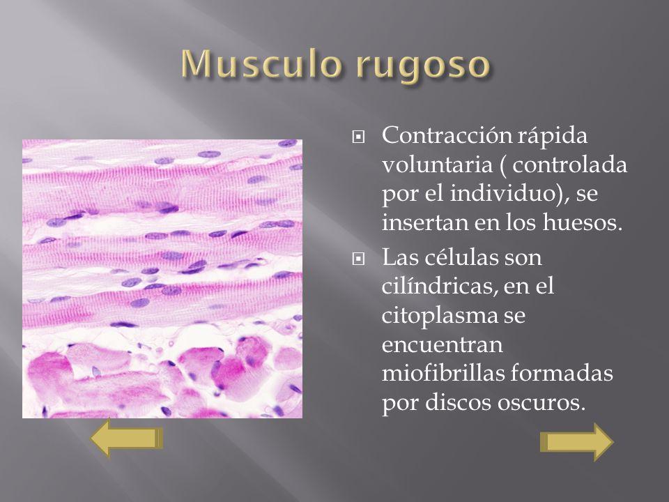 Contracción rápida voluntaria ( controlada por el individuo), se insertan en los huesos. Las células son cilíndricas, en el citoplasma se encuentran m