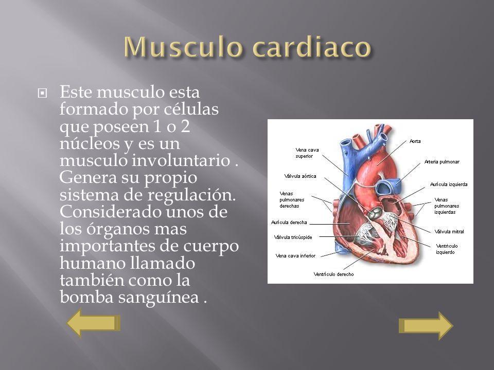 Este musculo esta formado por células que poseen 1 o 2 núcleos y es un musculo involuntario. Genera su propio sistema de regulación. Considerado unos
