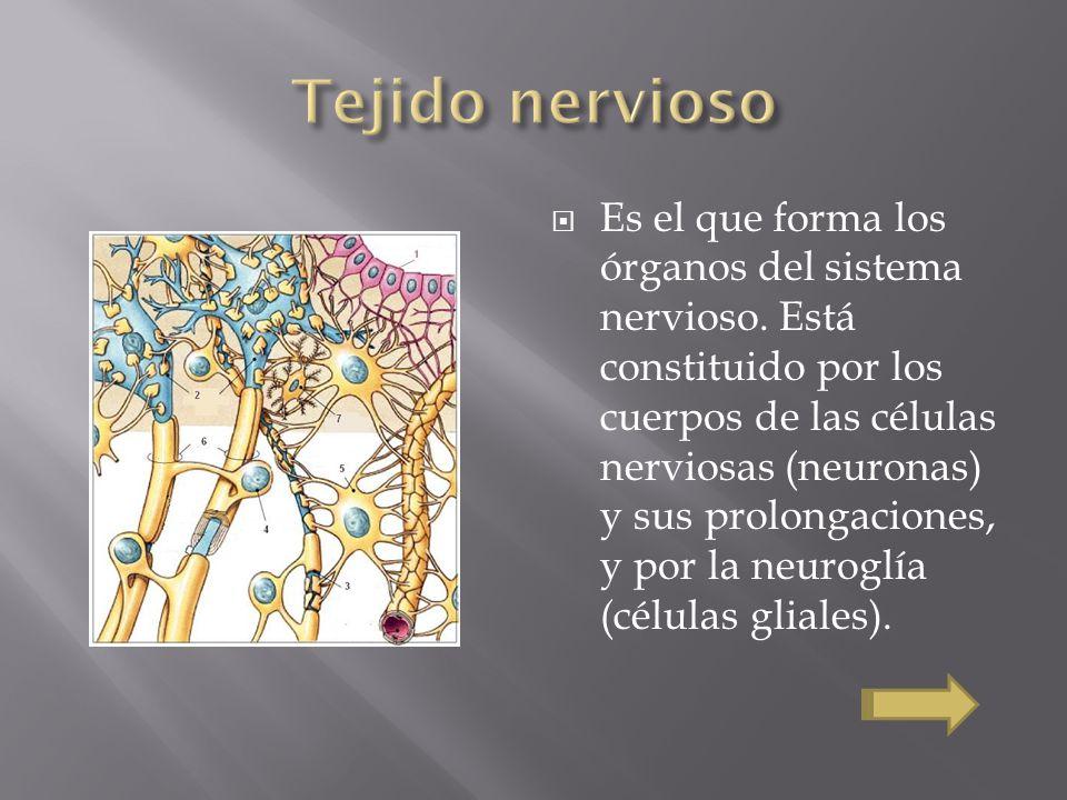 Es el que forma los órganos del sistema nervioso. Está constituido por los cuerpos de las células nerviosas (neuronas) y sus prolongaciones, y por la