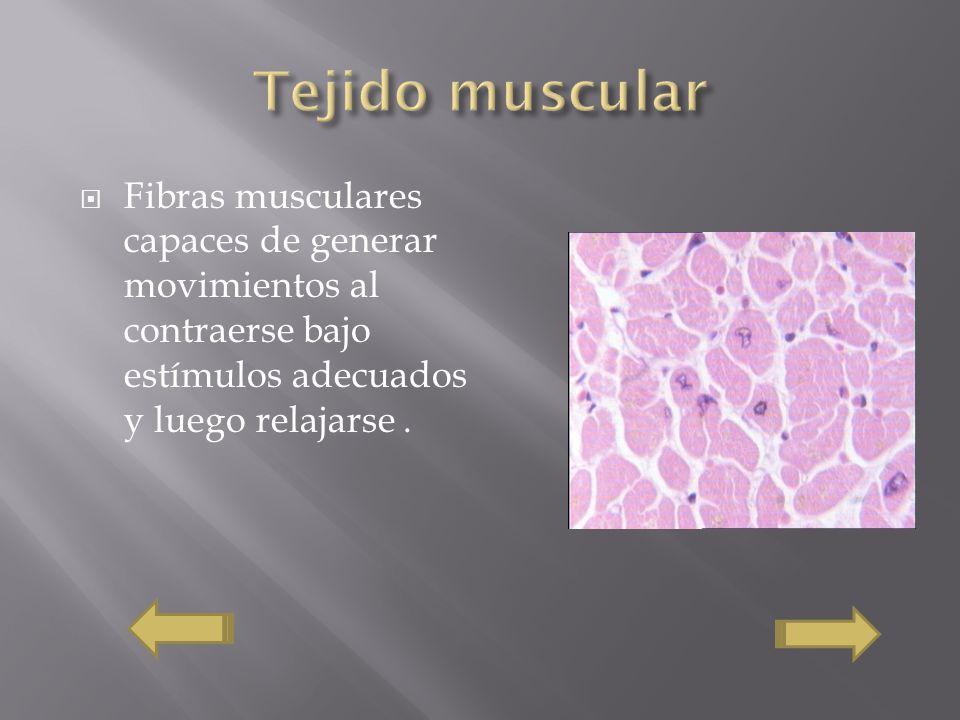 Fibras musculares capaces de generar movimientos al contraerse bajo estímulos adecuados y luego relajarse.