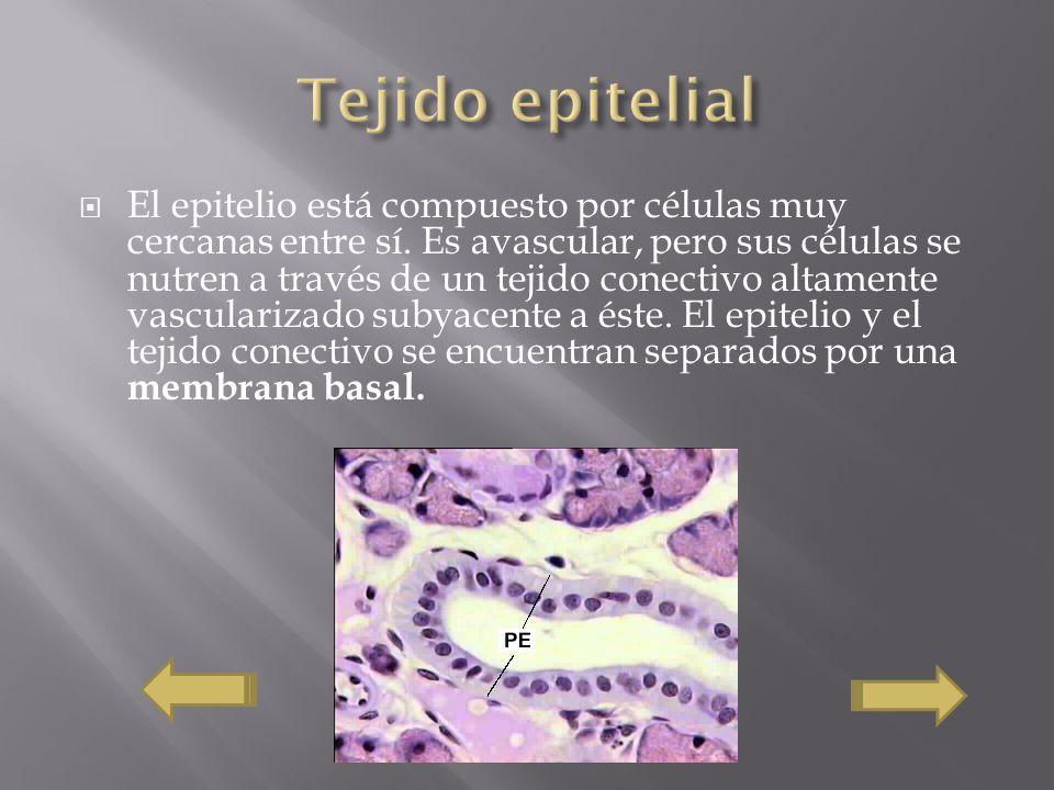 El epitelio está compuesto por células muy cercanas entre sí. Es avascular, pero sus células se nutren a través de un tejido conectivo altamente vascu