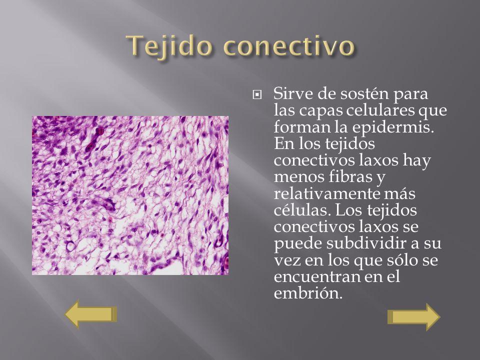 Sirve de sostén para las capas celulares que forman la epidermis. En los tejidos conectivos laxos hay menos fibras y relativamente más células. Los te