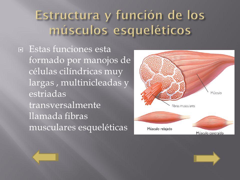Estas funciones esta formado por manojos de células cilíndricas muy largas, multinicleadas y estriadas transversalmente llamada fibras musculares esqu