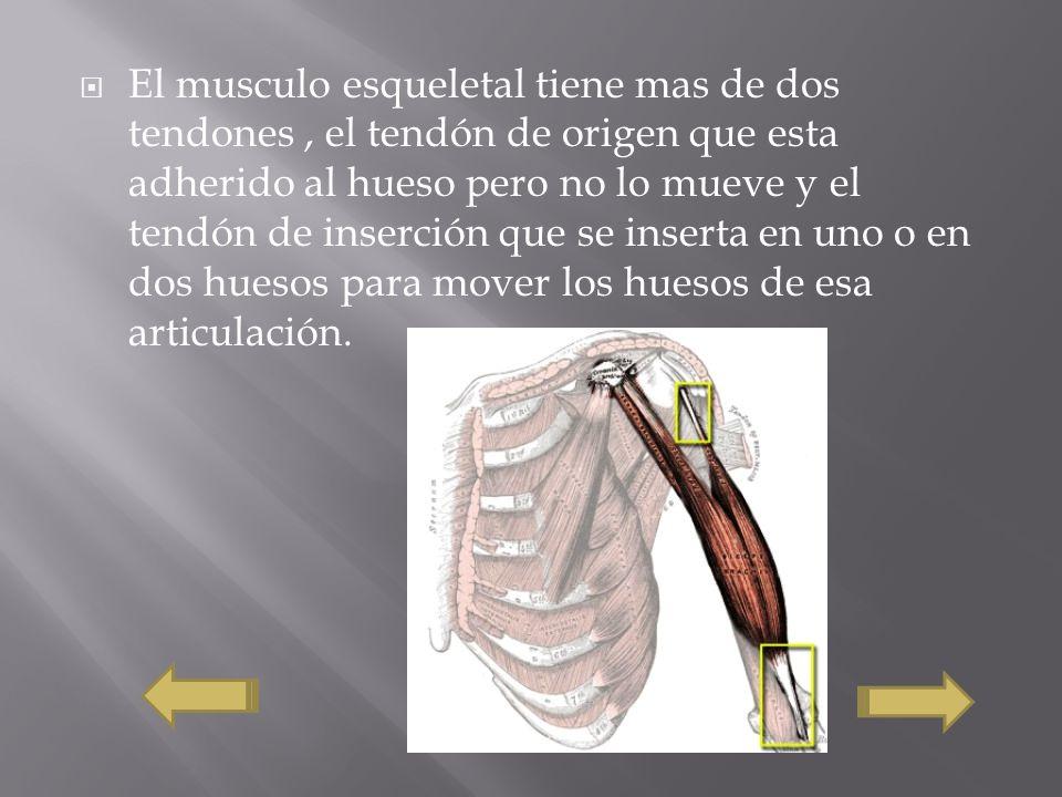 El musculo esqueletal tiene mas de dos tendones, el tendón de origen que esta adherido al hueso pero no lo mueve y el tendón de inserción que se inserta en uno o en dos huesos para mover los huesos de esa articulación.