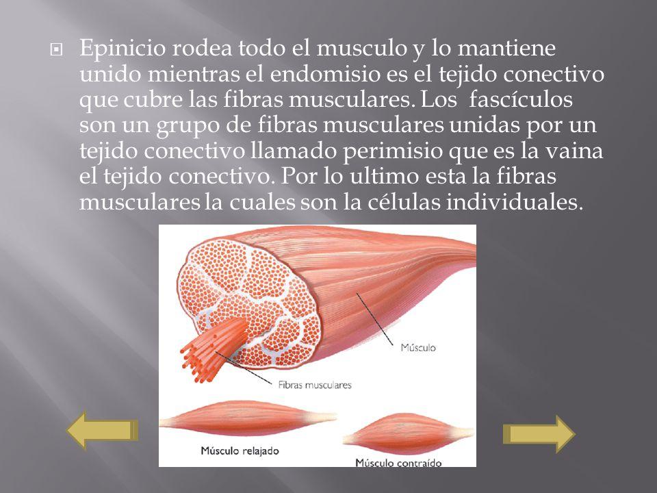 Epinicio rodea todo el musculo y lo mantiene unido mientras el endomisio es el tejido conectivo que cubre las fibras musculares. Los fascículos son un