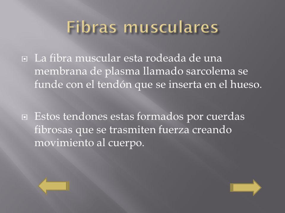 La fibra muscular esta rodeada de una membrana de plasma llamado sarcolema se funde con el tendón que se inserta en el hueso. Estos tendones estas for