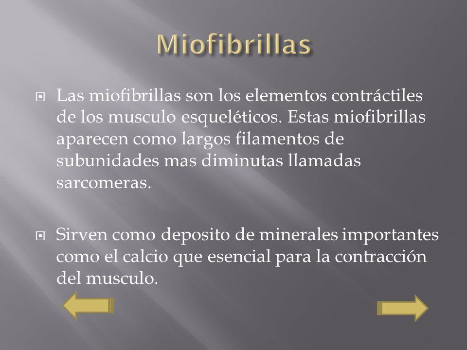 Las miofibrillas son los elementos contráctiles de los musculo esqueléticos. Estas miofibrillas aparecen como largos filamentos de subunidades mas dim