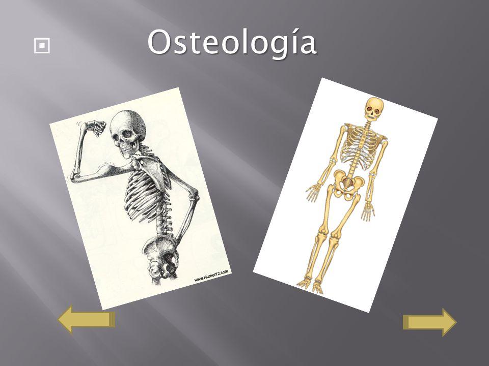 Es el que forma los órganos del sistema nervioso.