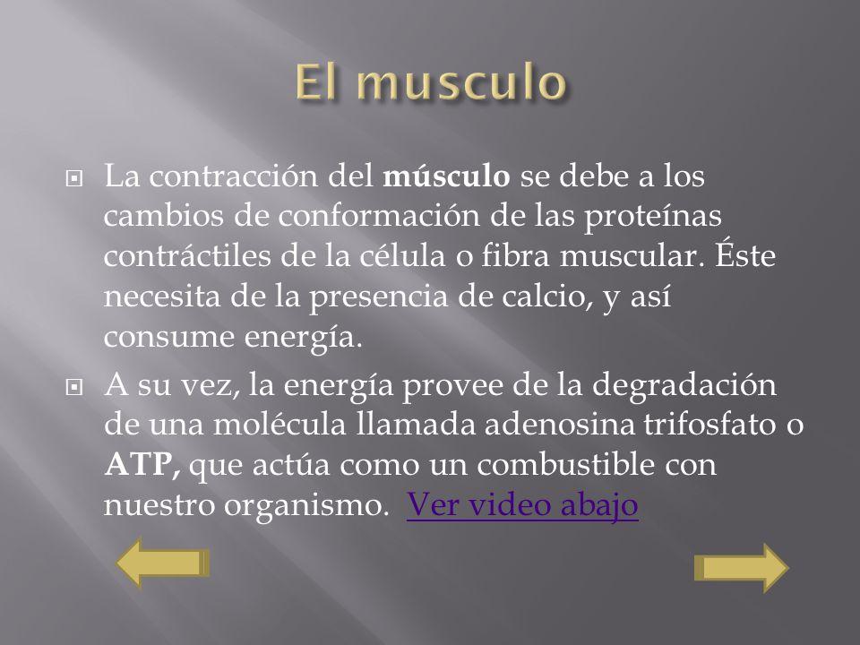 La contracción del músculo se debe a los cambios de conformación de las proteínas contráctiles de la célula o fibra muscular. Éste necesita de la pres