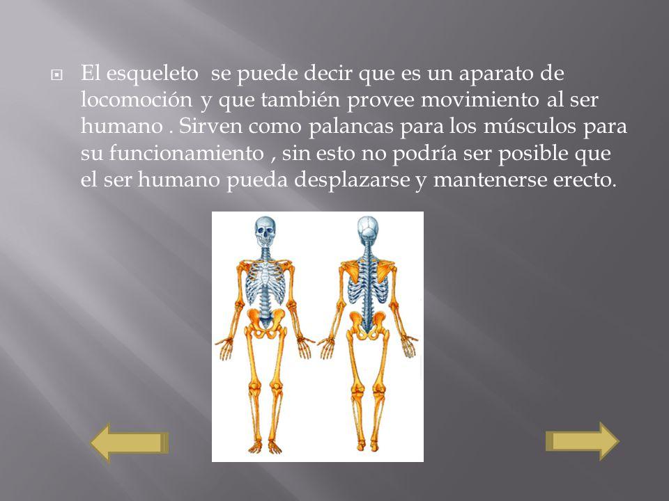 El esqueleto se puede decir que es un aparato de locomoción y que también provee movimiento al ser humano. Sirven como palancas para los músculos para