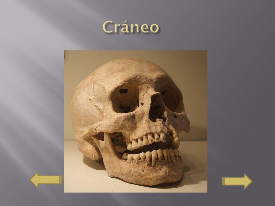 El cráneo es una caja ósea que protege y que contiene el encéfalo principalmente, esta constituido por 8 articulación de huesos.